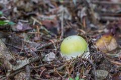 共同地已知的年轻致命的毒真菌伞形毒蕈phalloides 免版税库存照片