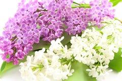 共同的丁香紫丁香属植物寻常与在白色背景隔绝的紫罗兰色和白花 免版税库存图片