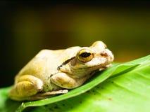 共同的东南亚雨蛙-多聚鸟足状的leucomystax 库存照片