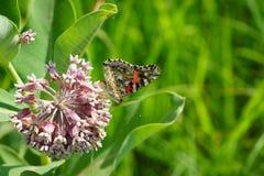 共同的乳草和蝴蝶 免版税库存照片