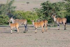 共同的伊兰小组,马塞语玛拉,肯尼亚 图库摄影
