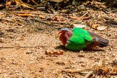 共同的印度绿宝石的鸠或的Chalcophaps 免版税库存照片