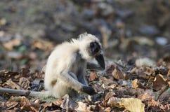 共同的叶猴, Presbytis entellus, Nagzira狂放的生活圣所,班达拉,在那格普尔附近,马哈拉施特拉 库存照片