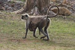 共同的叶猴, Presbytis entellus, Nagzira狂放的生活圣所,班达拉,在那格普尔附近,马哈拉施特拉 免版税图库摄影