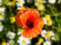 共同的名字包括虞美人的罂粟属rhoeas,玉米上升了,领域鸦片,富兰德鸦片,红色鸦片,红色杂草,coquelicot 图库摄影