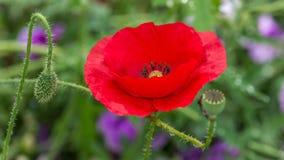 共同的名字包括虞美人的罂粟属rhoeas,玉米上升了,领域鸦片,富兰德鸦片,红色鸦片,红色杂草 库存照片