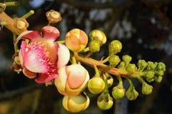 炮弹花, Couroupita guianensis (婆罗双树树)在寺庙Th 免版税库存图片