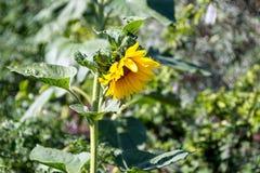 共同的向日葵在庭院里开花在一个晴天 免版税图库摄影