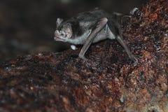 共同的吸血蝙蝠 免版税图库摄影