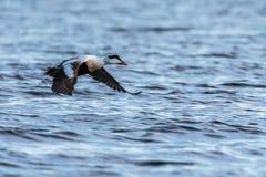 共同的在蓝色海洋的绒鸭男性飞行在冬天 图库摄影