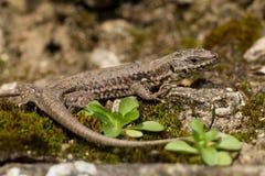 共同的墙壁蜥蜴(Podarcis muralis) 库存图片