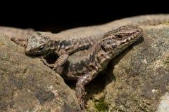 共同的墙壁蜥蜴(Podarcis muralis) 免版税图库摄影