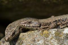共同的墙壁蜥蜴(Podarcis muralis) 免版税库存图片