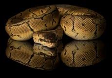 共同的大蟒蛇-演播室照片 免版税库存照片