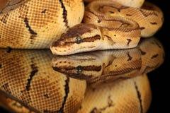 共同的大蟒蛇-演播室照片 免版税库存图片