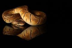 共同的大蟒蛇-演播室照片 库存照片