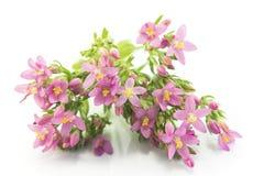 共同的夭车菊属植物(人马座Erythraea)花 库存图片