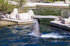 共同的宽吻海豚,动物园 免版税库存照片