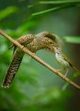 共同的对年轻哀怨的杜鹃的长尾缝叶鸟哺养的昆虫的步母亲 免版税图库摄影