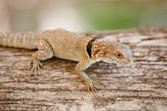 共同的小抓住衣领口的iguanid蜥蜴,马达加斯加 库存照片