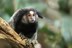 共同的小猿 库存图片