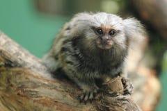 共同的小猿 库存照片