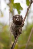 共同的小猿 免版税库存照片
