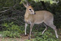 共同的小羚羊, (Sylvicapra grimmia) 免版税图库摄影