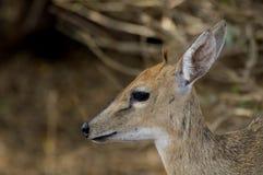 共同的小羚羊, (Sylvicapra grimmia) 库存图片