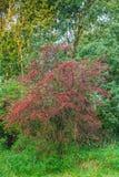 共同的山楂树,山楂属monogyna,有很多红色莓果在秋天期间 库存图片