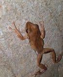 共同的布什青蛙Rhocoprus Leuconysax 库存图片