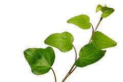 共同的常春藤在白色背景的常春藤属螺旋年轻叶子  库存照片