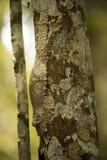 共同的平尾巴壁虎Uroplatus fimbriatus有完善的模仿,马达加斯加 免版税库存图片