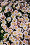 共同的延命菊与黄色筒形花和围拢由白色ligules 免版税库存图片