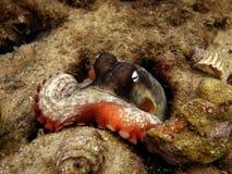 共同的悉尼章鱼 免版税库存图片