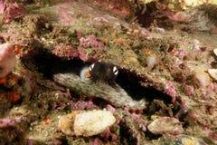 共同的悉尼章鱼 库存图片