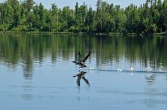 共同的懒人或普通潜鸟 免版税库存图片