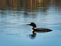 共同的懒人或普通潜鸟- gavia immer -明尼苏达国鸟 免版税图库摄影