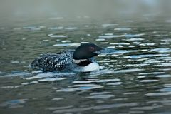 共同的懒人或普通潜鸟- gavia immer 图库摄影