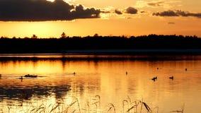共同的懒人,gavia immer,Minneaota抚养和拍动他们的在一个湖的国鸟翼在Bemidji 影视素材