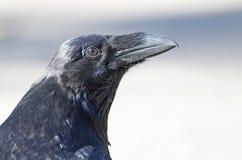 共同的掠夺乌鸦座corax在阿尔根金族公园,加拿大 库存照片