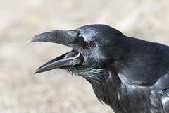 共同的掠夺乌鸦座corax在阿尔根金族公园,加拿大 免版税库存照片