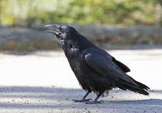 共同的掠夺乌鸦座corax在阿尔根金族公园,加拿大 免版税库存图片