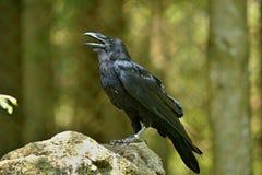 共同的掠夺乌鸦座corax,亦称北掠夺, 免版税库存图片
