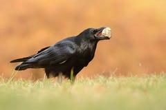 共同的掠夺乌鸦座corax,亦称北掠夺, 图库摄影