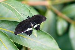 共同的摩门教徒Papilio polytes男性与在叶子的开放翼冠上v 库存图片
