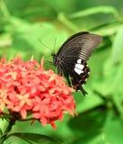 共同的摩门教蝴蝶在庭院里 免版税库存照片