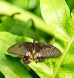 共同的摩门教蝴蝶在庭院里 免版税图库摄影