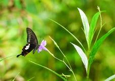 共同的摩门教蝴蝶在庭院里 图库摄影