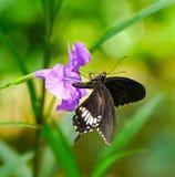 共同的摩门教蝴蝶在庭院里 免版税库存图片